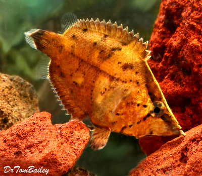 Premium WILD, Really Rare True South American Leaf Fish, Size: 2.5
