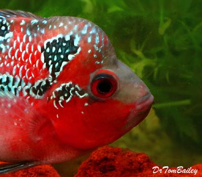 Premium Rare Super Red Dragon Flowerhorn Cichlid, Size: 3.5
