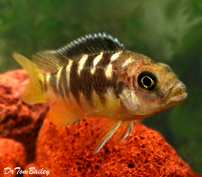 Premium Bumblebee Mbuna Cichlid from Lake Malawi in East Africa, Size: 3.5