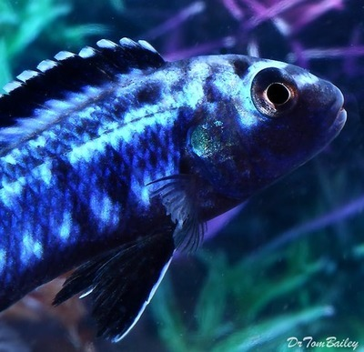 Premium New Electric Blue Melanochromis Johanni, Size: 2.5