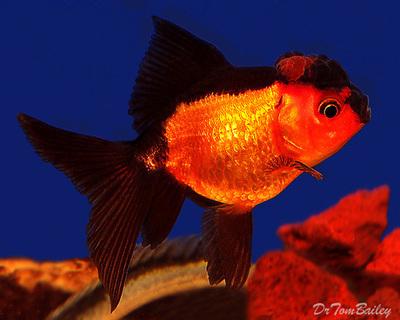 Premium Rare Red and Black Oranda Goldfish, Size: 2