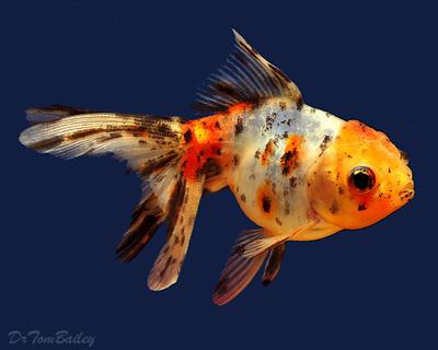 Premium Calico Oranda Goldfish, Size: 2