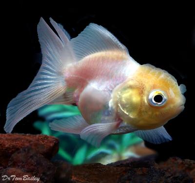 Premium Rare Pearl White Oranda Goldfish, Size: 2