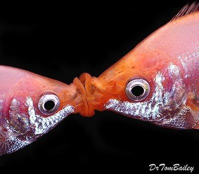 Premium Pink Kissing Fish, Size: 1.5