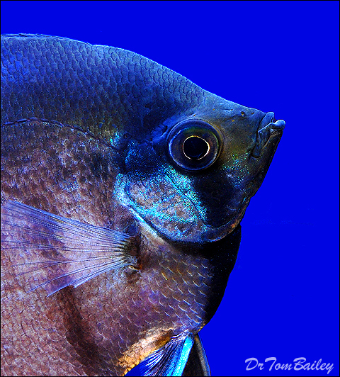 """Premium Black Lace Veiltail Angelfish, Size: 2"""" to 2.5"""""""