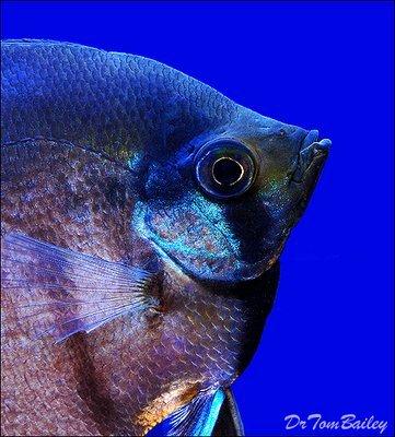 Premium Black Lace Veiltail Angelfish, Size: 2
