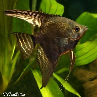 Premium Black Lace Angelfish, Size: 2