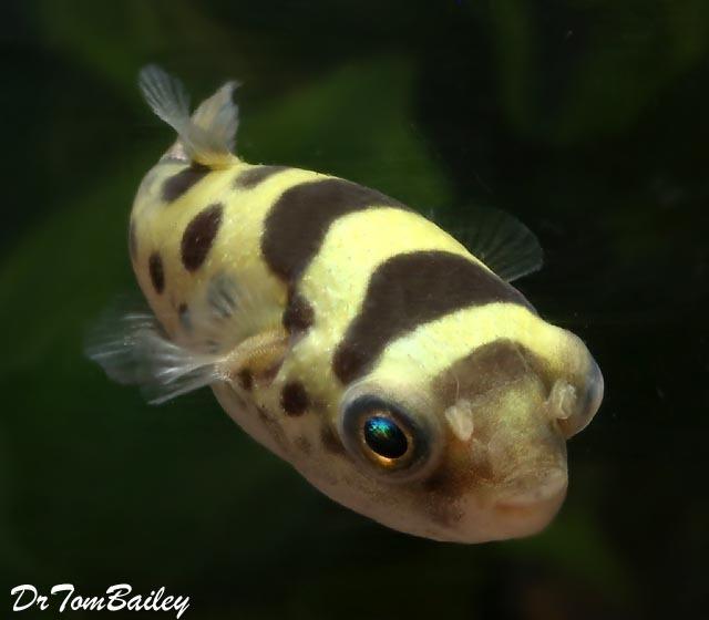 "Premium WILD, Ceylon Pufferfish, Size: 0.75"" to 1"""