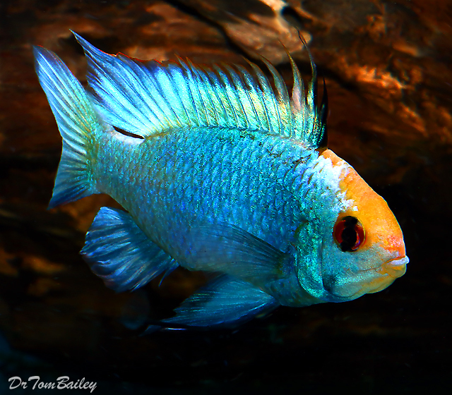 "Premium New and Rare, Gold Cap Electric Blue Ram Cichlid, Size: 1.5"" to 2"""