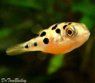 Premium WILD, Freshwater Dwarf Pufferfish, Nano Fish, Size: 0.5