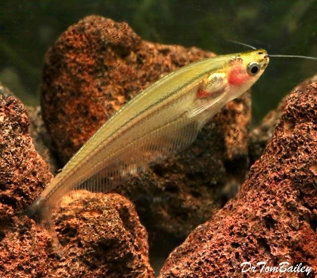 """Premium Rare New, Striped Yellow Glass Catfish, Size: 2"""" to 2.5"""""""
