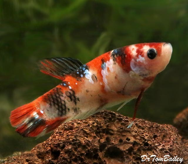"Premium FEMALE Rare Showa Koi Betta Fish, Size: 1.5"" to 2"""