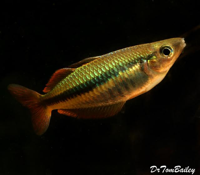 "Premium Rare and New, Alleni Wapoga Rainbowfish, Size: 1.5"" to 2"""