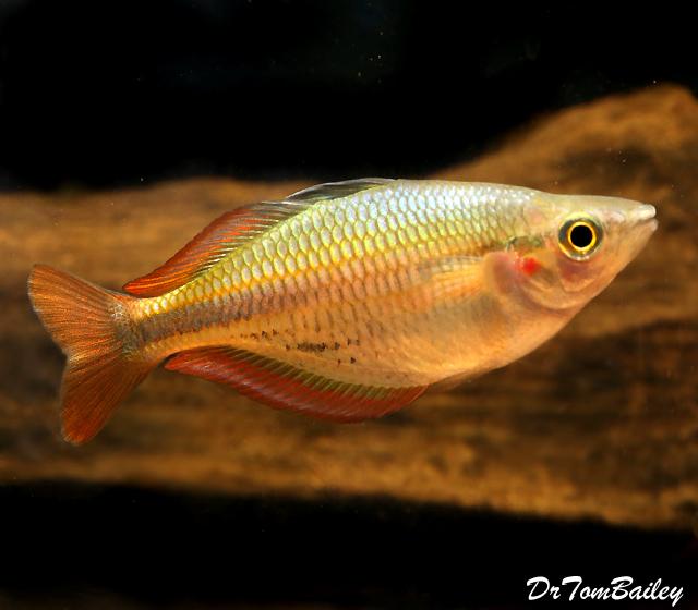 """Premium New and Rare, Aru II Rainbowfish, Size: 1.5"""" to 2"""""""