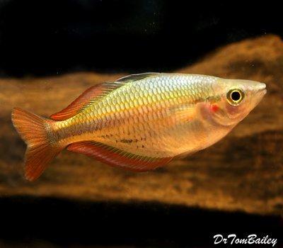 Premium New and Rare, Aru II Rainbowfish, Size: 1.5