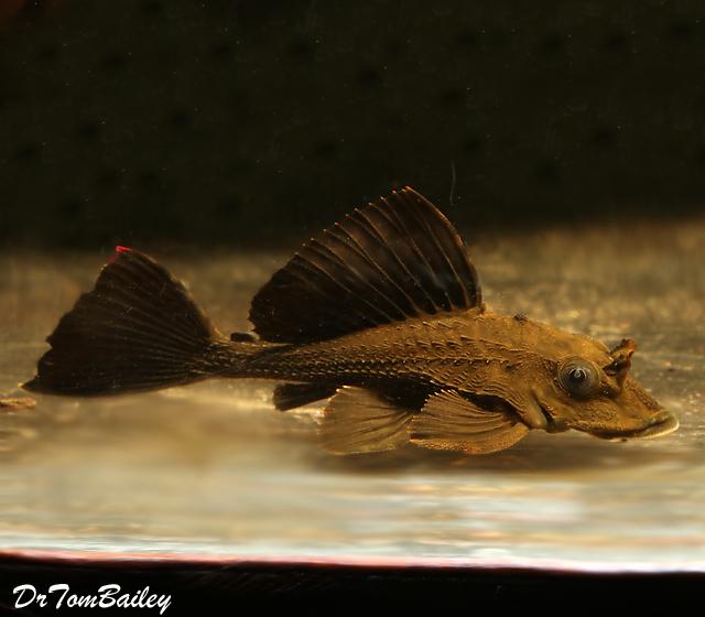 """Premium WILD, Rare and New, Rhino Plecostomus Catfish, Size: 2"""" to 2.5"""""""