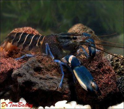 Premium Rare Marbled Blue Lobster, Size: 3
