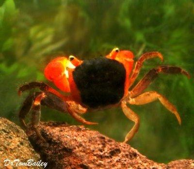 Premium Freshwater Red Apple Crab, Size: 1
