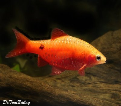 Premium Red Glass Rosy Barb, Size: 1