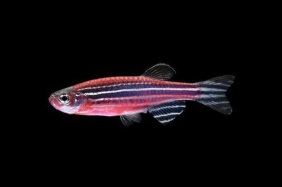 Premium Starfire Red Striped GloFish Danio, Size: 1