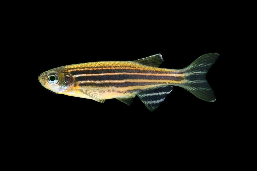 """Premium Sunburst Orange Striped GloFish Danio, Size: 1"""" to 1.2"""""""