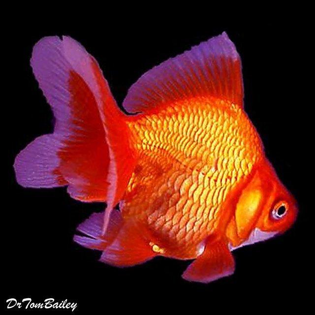 """Premium Red Ryukin Goldfish, Size: 2.5"""" to 3"""""""