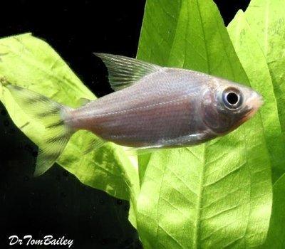 Premium Redfin Prochilodus, Semaprochilodus taeniurus, Size: 1.5