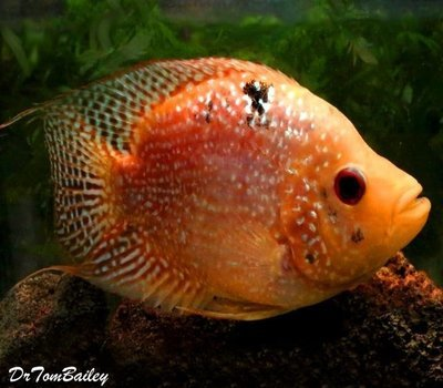 Premium Very Rare and New, Deep Body Red Texas Flowerhorn Cichlid, Size: 4