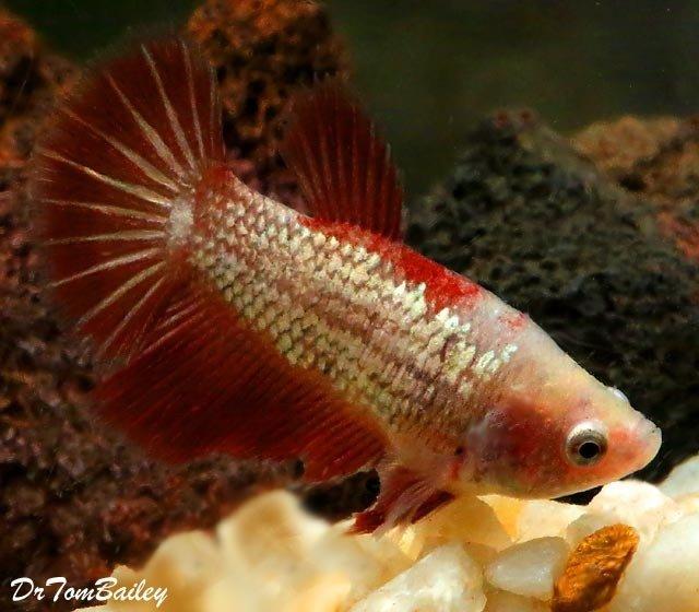 "Premium FEMALE Rare Assorted Dragonscale Betta Fish, Size: 1.5"" to 2"""
