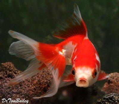 Premium Red & White Fantail Goldfish, Size: 1.5