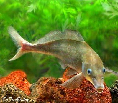 Premium WILD, Rare Baby Dolphin Mormyrid, Size: 5