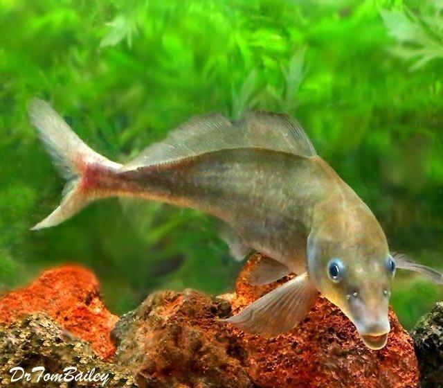 "Premium WILD, Rare Baby Dolphin Mormyrid, Size: 6"" to 7"""