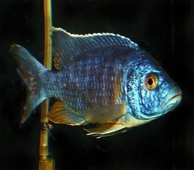 Premium MALE Lake Malawi Blue Peacock Cichlids, Size: 3
