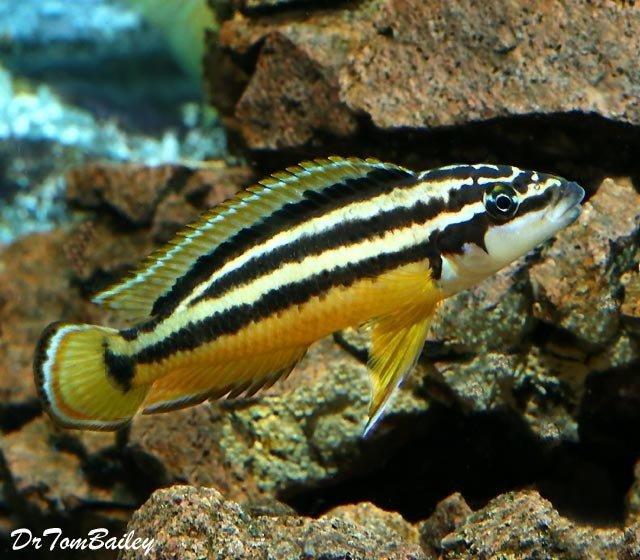 Premium Juli Ornatus Cichlid from Lake Tanganyika