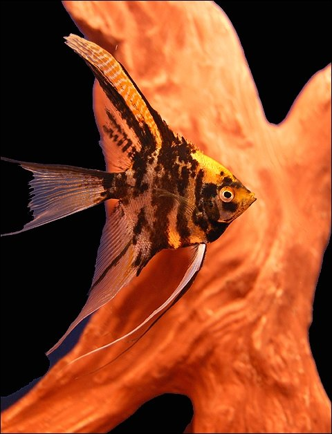 "Premium Gold Marbled Veiltail Angelfish, Size: 2.5"" to 3"""
