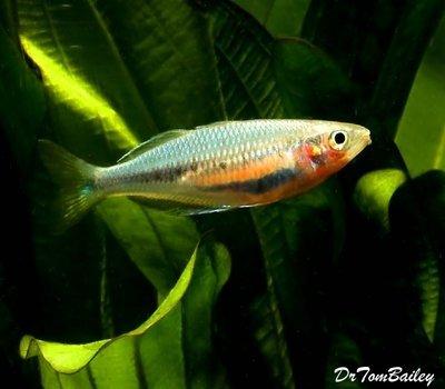 Premium Rare and New, Laticlavia Rainbowfish, Size: 3.5