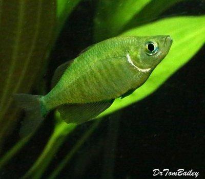Premium Emerald Rainbowfish, Size: 1.5