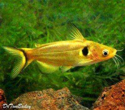Premium WILD, Golden Metallic Sun Catfish, Size: 6