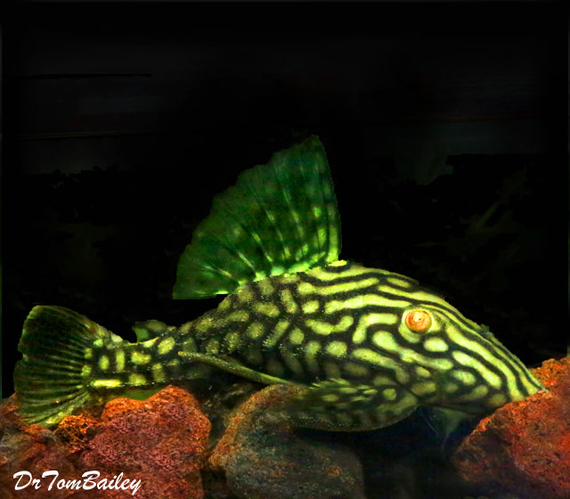"""Premium WILD, New, Spotted Royal Pleco, Size: 5"""" to 6"""""""