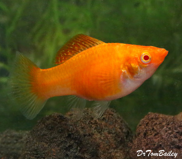"Premium FEMALE New Orange Sailfin Molly, Size: 1.5"" to 2"""