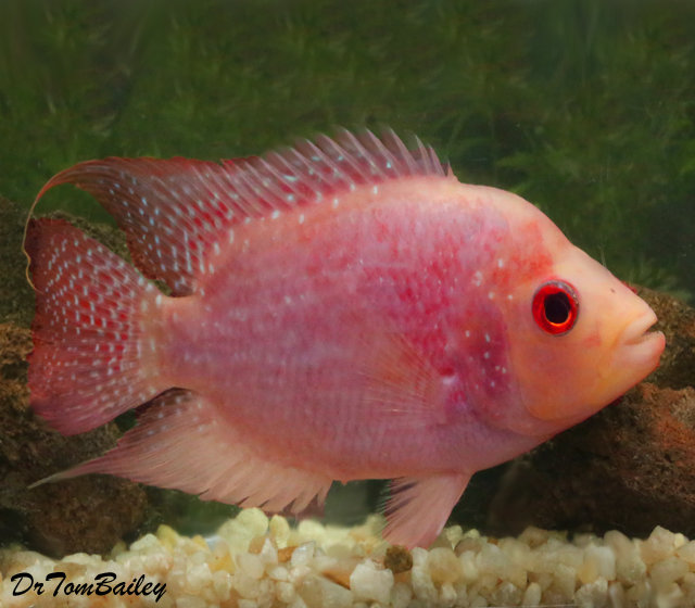 """Premium Rare and New, Red Texas Flowerhorn Cichlid, Size: 5"""" to 6"""""""