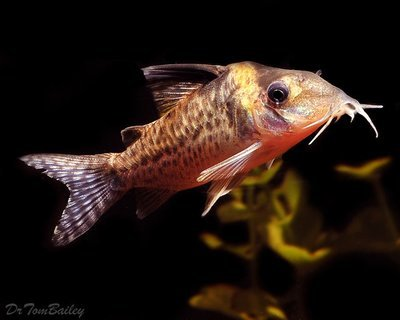 Premium WILD, Agassizii Corydoras Catfish, Size: 1