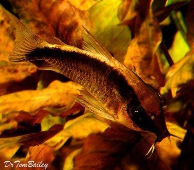 Premium WILD, Arcuatus Skunk Corydoras Catfish, Size: 1
