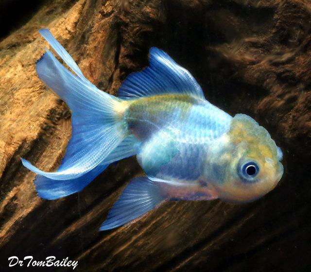 """Premium Rare Blue Oranda Goldfish, Size: 2.5"""" to 3"""""""