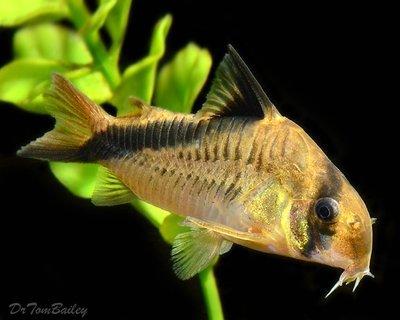 Premium WILD, False Bandit Melini Corydoras Catfish, Size: 1