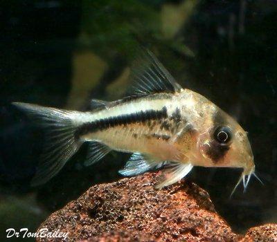 Premium WILD, Axelrodi Corydoras Catfish