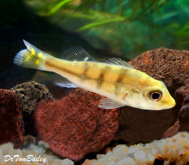 """Premium Rare Monoculus Peacock Bass Cichlid, Grows to be very Large, Size: 2"""" to 2.5"""""""