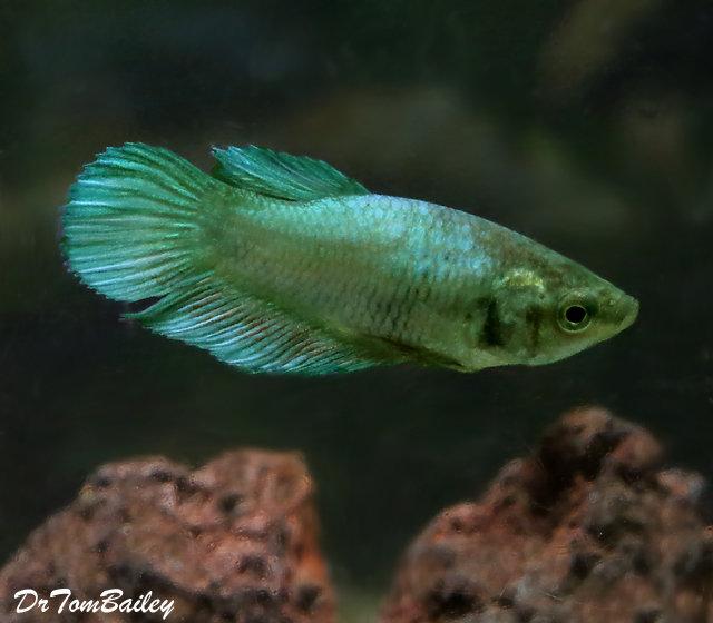 "Premium FEMALE Green Betta Fish, Size: 1"" to 1.2"""