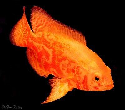 Premium Albino Tiger Oscar Cichlid, Size: 1