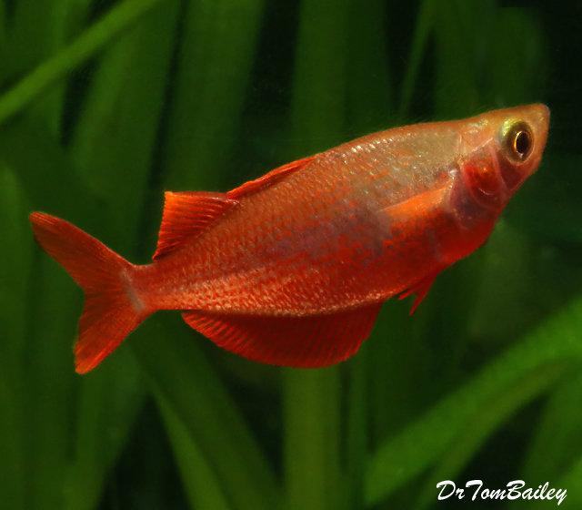 """Premium Millennium Rainbowfish, Size: 2"""" to 2.5"""""""